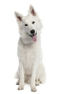 white german shepards