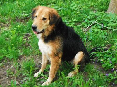Buddy German Shepherd Mix all wet