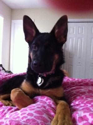 Aleigha female German Shepherd puppy