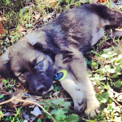 Ansley, my German Shepherd / Boxer or Aussie Mix