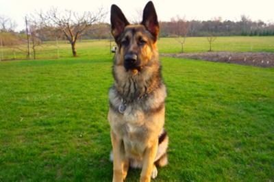 German Shepherd at 9 Months