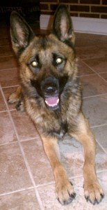 Belgian Shepherd Malinois Mix