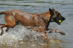 Belgian Shepherd Malinois Running