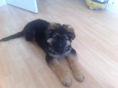 My German Shepherd Bentley