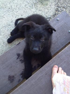 Shadow, my Black German Shepherd