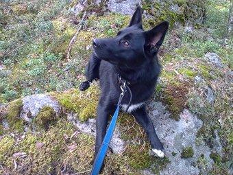 Noki - Border Collie German Shepherd mix
