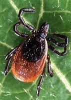 Canine Lyme Disease Deer Tick