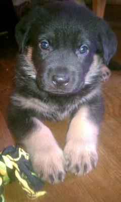 My German Shepherd dog Captain