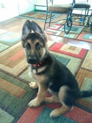 Cash, my GSD puppy at 12 weeks