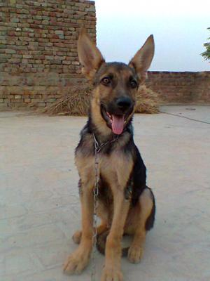 Caspy - German Shepherd Puppy