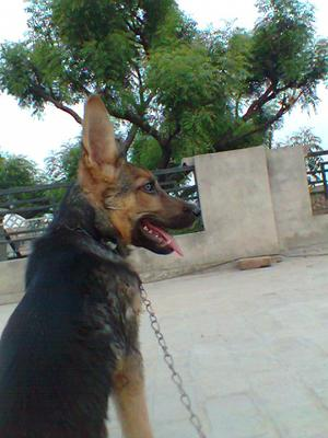 Caspy - GSD puppy