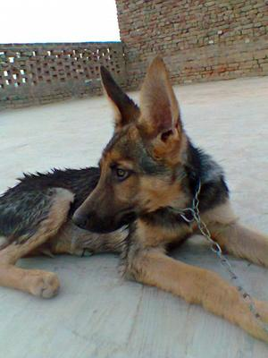 German Shepherd Caspy