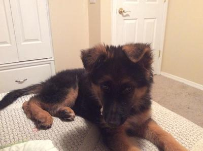 Chase my GSD baby at 3 months