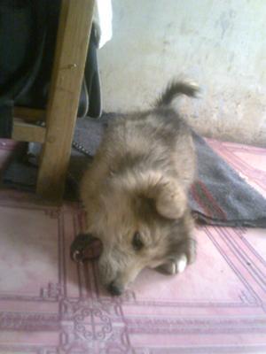 German Shepherd puppy Clinto