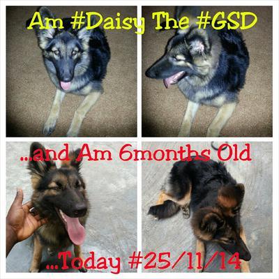 Daisy, my GSD
