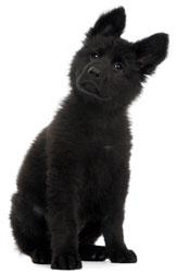 Dog Euthanasia Black