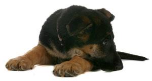 Dog Euthanasia Puppy