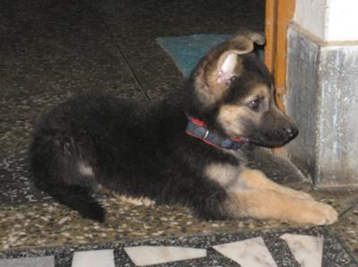 German Shepherd puppy Elli at 2 months old, waiting for her food at kitchen door