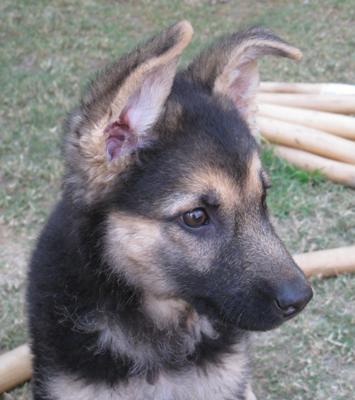 German Shepherd puppy Elli at 10 weeks old