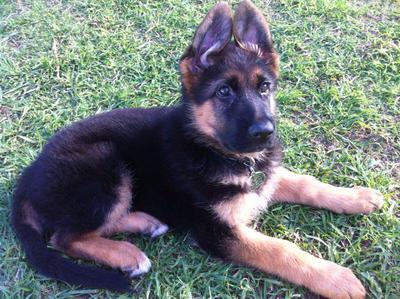 My German Shepherd Finn