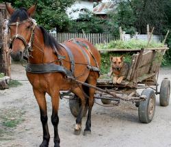 German Shepherd Hip Dysplasia Cart