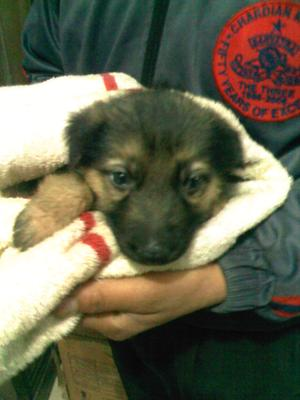 My German Shepherd Puppy Hachi