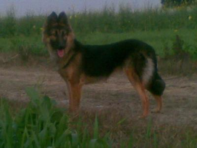 German Shepherd Harry Jully