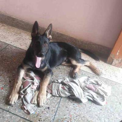 Jack, my German Shepherd