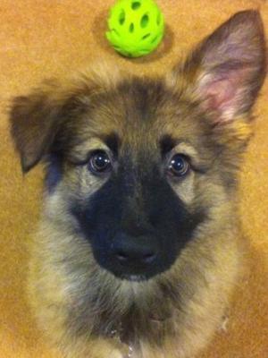 My German Shepherd Maci