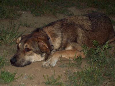 Marlie, my German Shepherd Husky mix