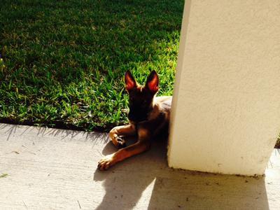 Max, my German Shepherd