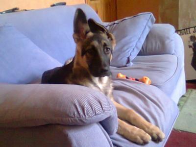 German Shepherd puppy Max