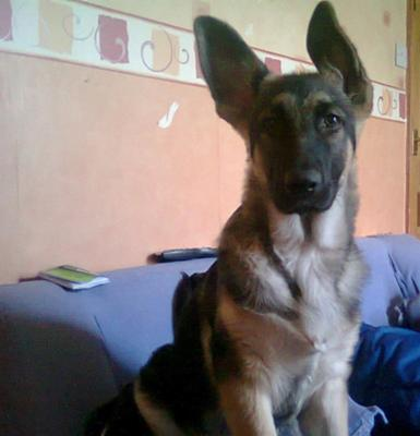 GSD puppy Max