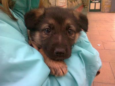 German Shepherd pup Max