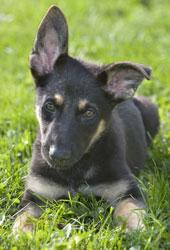 Miniature German Shepherd Small Size Gsd