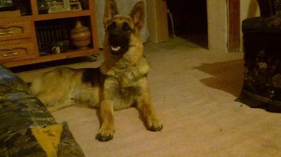 My German Shepherd Baloo