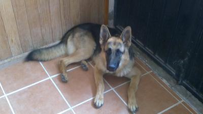 My handsome German Shepherd Baloo.