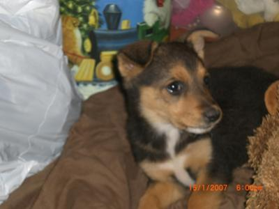 German Shepherd Mix Puppy