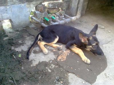 My GSD Puppy