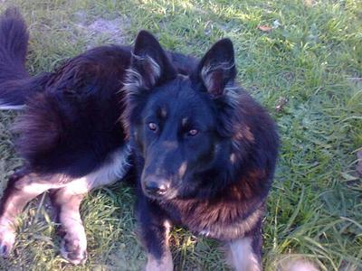 Phoebe, my Belgian Shepherd Malinois