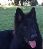 My Solid Black German Shepherd