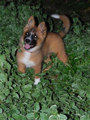 My Sweet Honey Dog - German Shepherd Akits Mix