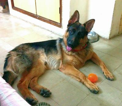 Dasher, my German Shepherd
