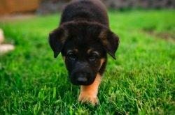 training a german shepherd puppy