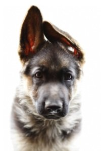 training a german shepherd puppy dogs prayer