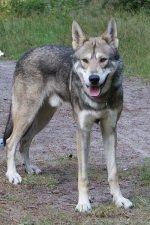 Wolf Dog1