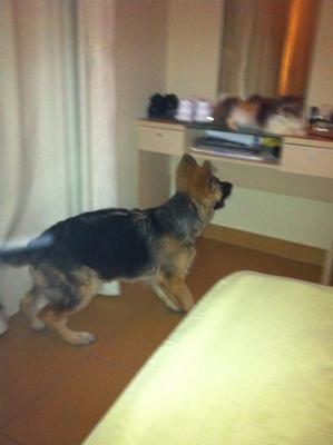 German Shepherd Puppy Yuri at 5 months