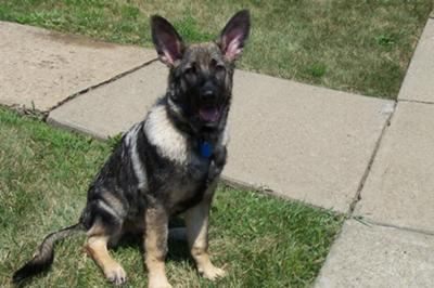 GSD Pup Zander is all ears