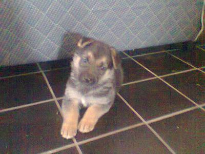 GD pup Zeus