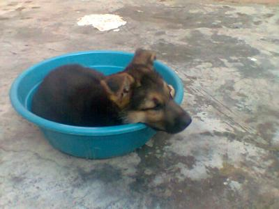 Cuddly GSD puppy, Zeus